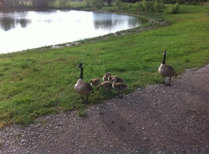 Mother teaching her goslings to beg though Dad is very protective so you can't get too close. Salina, KS