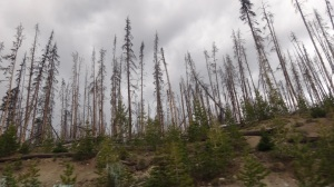 Acres of burned trees in Yellowstone