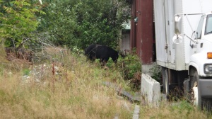 Bear Looking for Beer?